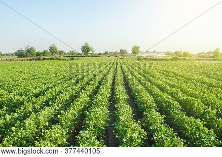 Plantation Landscape Of Green Potato Bushes. Agroindustry And Agribusiness. European Organic Farming