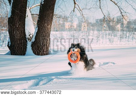 Funny Young Shetland Sheepdog, Sheltie, Collie Playing With Ring Toy Outdoor In Snowy Park, Winter S