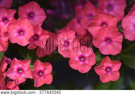 Perennial Phlox Early Red - Latin Name - Phlox Paniculata Early Red