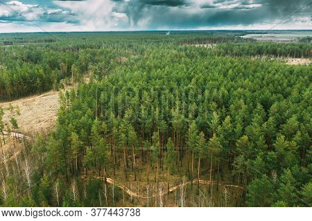 Aerial View Green Coniferous Forest Pines Woods Landscape In Early Spring Day. Top View Of Beautiful