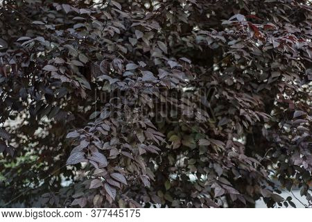 Wood Texture With Burgundy Leaves, General Plan. Red Leaves Texture, Bird Cherry, Plum Tree With Bur