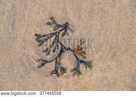Fucus Is A Genus Of Brown Algae Found In The Intertidal Zones Of Rocky Seashores Almost Throughout T