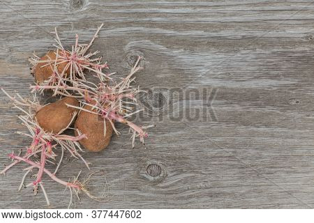 Germinating Bio Potatoes On Rustic Wooden Background. Sprouted Tubers. Ugly Vegetables, Food Waste C