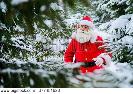 Surprised Santa Claus Walks Through A Snowy Coniferous Forest At The North Pole In Lapland. Merry Ch