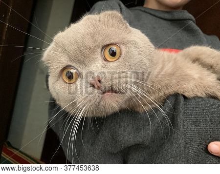 Scottish Fold Gray Cat. A Large Purebred Cat With Big Eyes. The Boy Is Holding A Rare Breed Of Cats.