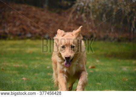 Direct Look Into The Face Of A Duck Tolling Retriever Dog Running.