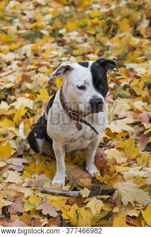 A Large Dog In A Maple Wreath In Autumn Weather. National Dog Day. American Staffordshire Terrier Am