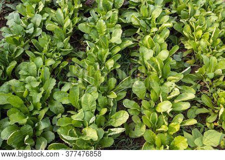 Radish Farming In House Garden, Fresh Radish Leaf Growing In Field