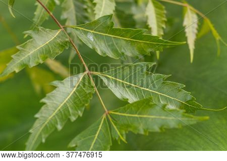 Azadirachta Or Neem Tree Leafs,  Nimtree Or Indian Lilac. Also Know As Ayurvedic Medicine