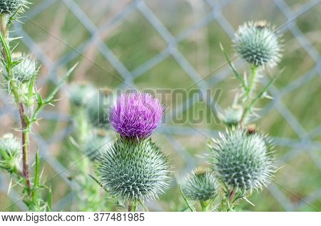 Purple Flower And Spiny Buds Of A Common Thistle, Cirsium Vulgare