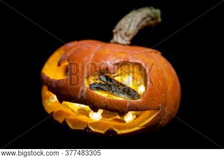 The Two Headed Japanese Rat Snake On Black With Haloween Pumpkin