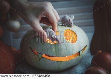 Pretty Hairless Albino Mice With Haloween Pumpkins