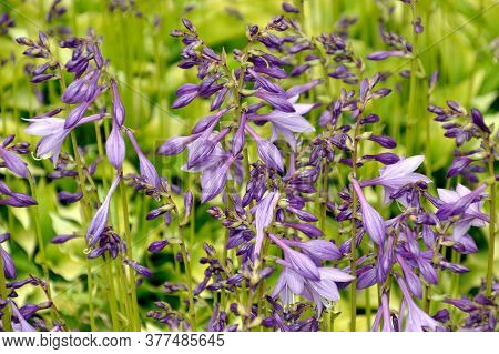 Selective Focus Of Purple Flowers Of Perennial Plant Hosta