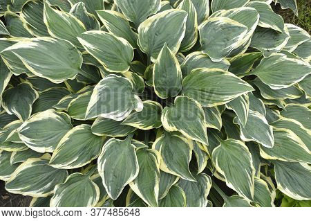 Perennial Plant Hosta. Green Leaves With White Trim.