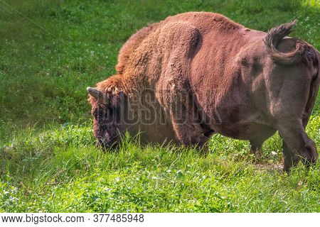 The European Bison Grazes On A Green Field With Tall Grass. Bison Bonasus, Also Known As Wisent Or T