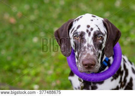 Happy Young Dalmatian Dog Sitting Outdoors With A Puller Ring Toy Around Its Neck. The Portrait Of D