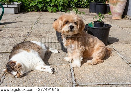 Red Lhasa Apso Dog And Tabby Cat In A Garden