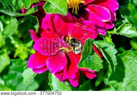 Bumblebee Collects Nectar From Red Flowers.bumblebee Collects Nectar.