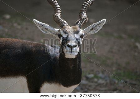 Male Blackbuck