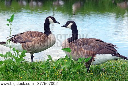 Wild Geese On The Lake.  A Couple Of Wild Geese By The Pond