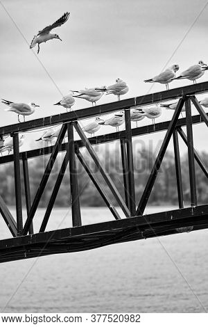 Gulls Perched On A Metal Railing With Danube River In The Background In Belgrade