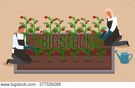 Scientists Or Farmers Grow Tomatoes. Woman And Man Growing And Watering Crops In A System Without So