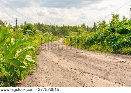 Rural Landscape With Thickets Of Hogweed. Weed Killer Takes Over Villages In Eastern Europe
