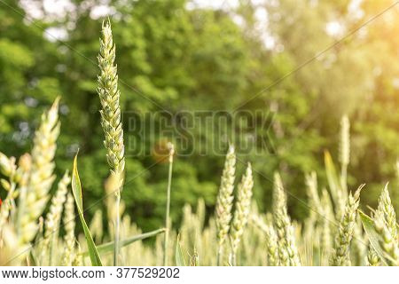 Green Wheat Crop. Agriculture Harvest With Cereal Plant Crop Background. Bread Rye Green Grain On Go