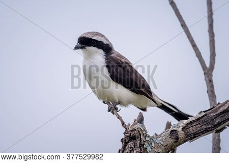 Grey-backed Fiscal On Dead Branch Eyeing Camera