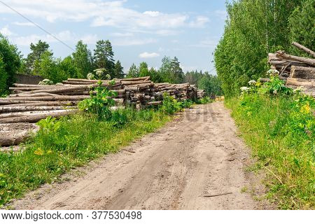 Thickets Of Poisonous Hogweed In The Kaluga Region, Russia. The Road To The Sawmill, Log Warehouse,