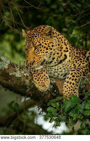 Leopard Lies Looking Down From Tree Branch
