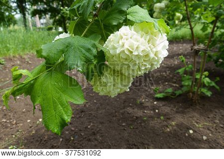 Closeup Of White Inflorescence Of Viburnum Opulus Sterile In May