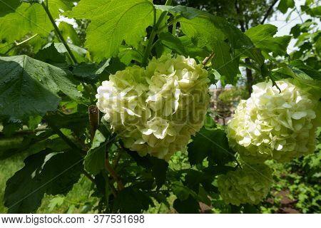 Corymbs Of White Flowers Of Viburnum Opulus Sterile In May