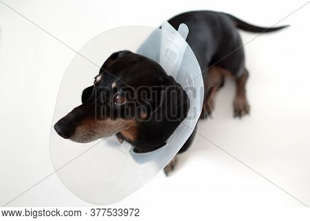 Sad Dog Lying On A Bed Sick With Vet Plastic Elizabethan Collar On Neck. A Dachshund In A Dog Collar