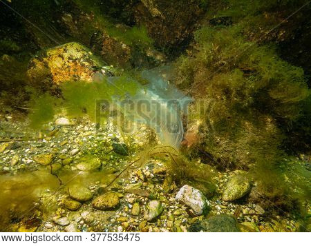 A Jellyfish Appears In A Beautiful Underwater Seascape. Cold Green Water And Yellow Seaweed. Picture