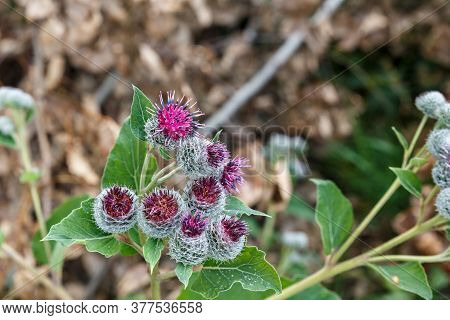 Arctium Lappa Commonly Called Greater Burdock. Blooming Medicinal Plant Burdock.