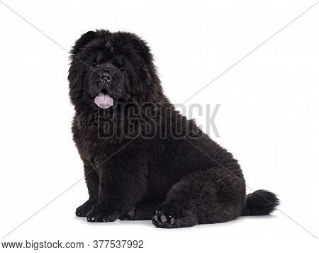 Majestic Solid Black Chow Chow Dog Pup, Sitting Up Side Ways. Looking Towards Camera. Mouth Open And