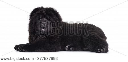 Majestic Solid Black Chow Chow Dog Pup, Laying Down Side Ways. Looking Towards Camera. Mouth Open An