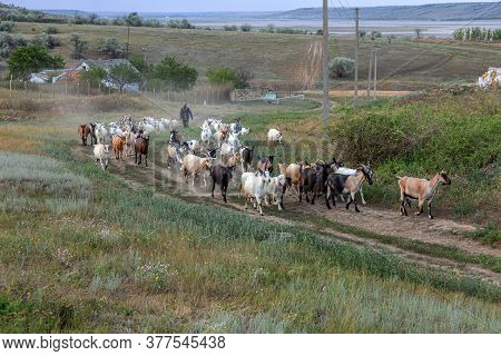Rural Landscape Of A Shepherd With A Herd Of Goats. A Shepherd Leads A Herd Of Goats Along A Path In