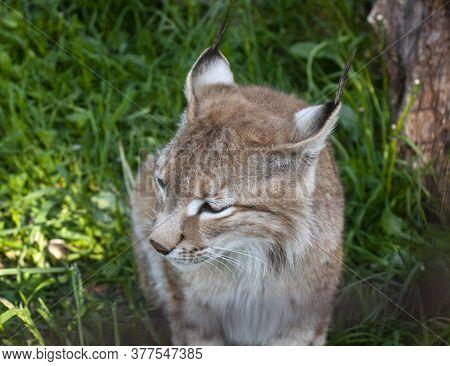 The Muzzle Of A Male Eurasian Lynx.