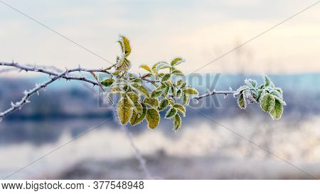 Frost-covered Green Rose Hip Leaves On A Blurred Background
