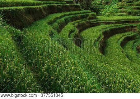 Rice Terraces In Bali Indonesia. Terrace Rice Fields, Bali, Indonesia. Green Cascade Rice Field Plan