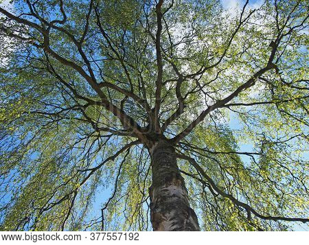 Upwards View Of A Willow Willows Tree With Budding Bright Green Spring Leaves On Branches Against A