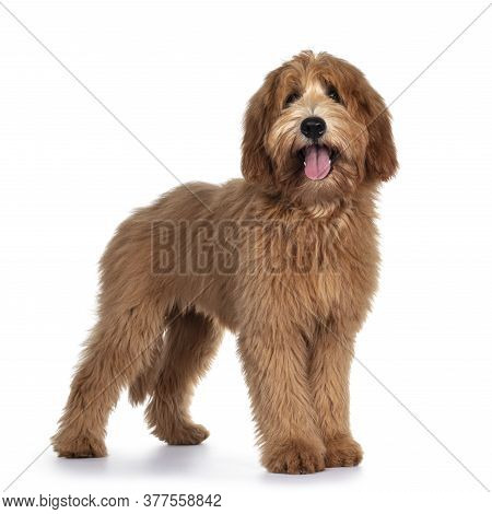 Cute Red / Abricot Australian Cobberdog / Labradoodle Dog Pup, Standing Side Ways. Looking At Camera