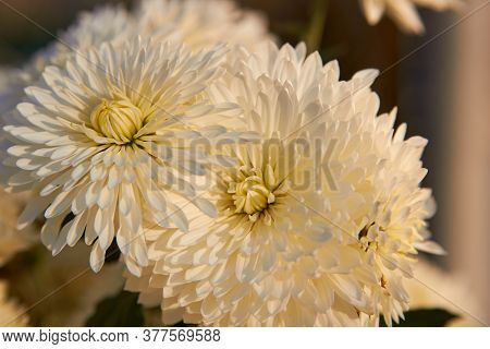 Chrysanthemum Flower At Sunset, White Chrysanthemum Flower At Sunset With A Yellow Tinge On The Peta
