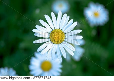 White Daisy Close - Up Against The Background Of Other Daisies And Dark Green Leaves. The View From