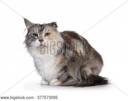 Cute Silver Tortie Maine Coon Cat, Laying Down Side Ways. Looking At Camera With Green Eyes. Isolate