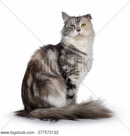 Cute Silver Tortie Maine Coon Cat, Sitting Side Ways. Looking At Camera With Green Eyes. Isolated On