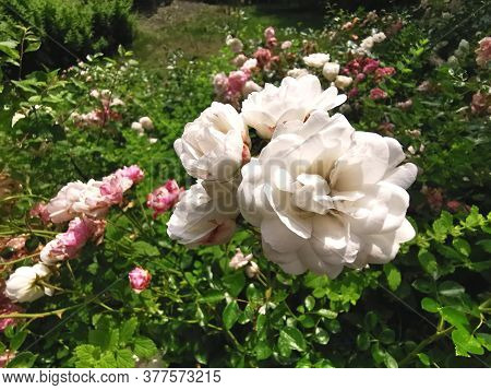 Beautiful Flowerbed With White And Pink Roses