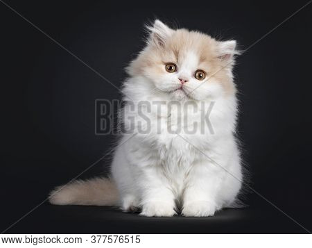 Fluffy Creme With White British Longhair Cat Kitten, Sittin Up Facing Front. Looking At Camera With